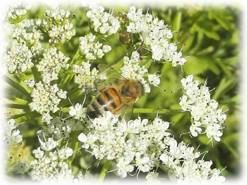 ruchers-erdre-abeille-miel